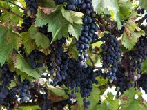 Two large bunches of red wine grapes hang from a vine, Ripe grapes hang on the vine. stock photo