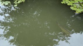 Two large carp swim in a muddy river.  stock footage