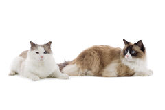 Two large cats Royalty Free Stock Photo