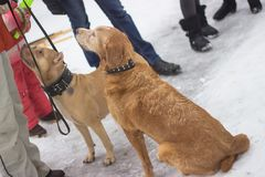 Two large dog ores are sitting in the snow. And looking at their owner Stock Photography