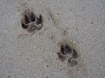 Two Dog Paw Print in the Sand. Two Large Dog Paw Print in the Sand Royalty Free Stock Image
