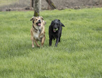 Two Large Dogs Playing. A brown shepherd husky mix pup chases a black lab mix with a ball. The dogs are running through a lush green lawn Stock Photo
