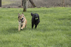 Two Large Dogs Playing. A brown shepherd husky mix pup chases a black lab mix with a ball. The dogs are running through a lush green lawn Royalty Free Stock Images