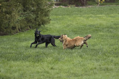 Two Large Dogs Playing. A golden brown shepherd husky mix pup chases a black lab mix with a ball. The dogs are running through a lush green lawn royalty free stock photography