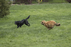 Two Large Dogs Playing. A golden brown shepherd husky mix pup chases a black lab mix with a ball. The dogs are running through a lush green lawn royalty free stock images