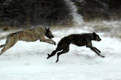 Scottish deerhound and an irish wolfhound playing on a snow covered beach stock images
