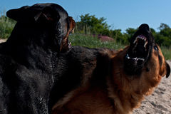 Two large dogs shows strength. Rottweiler and German Shepherd shows his strength with muscles and teeth stock photography