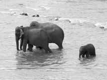 Two large elephant and baby elephant bathing in the river. stock image