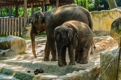 Two large elephant in the zoo. Stock Images