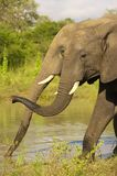 Two large elephants Royalty Free Stock Image