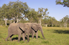 Two large elephants Royalty Free Stock Photography
