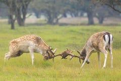 Fallow deer, Dama Dama, fighting during rutting season. Two large Fallow Deer stags, Dama Dama, fighting during rutting season on a green natural meadow stock images