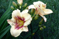 Two large flowers of a hemerocallis. Royalty Free Stock Photo