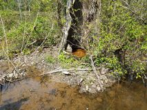 Two large frogs and water and hollow of tree. In swamp royalty free stock image