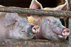Two large fully grown male pigs Royalty Free Stock Photos