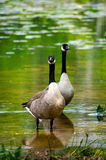 Two large geese Royalty Free Stock Photos