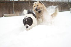 Great guard dog. Two large guard dogs playing in the snow in winter Stock Photos