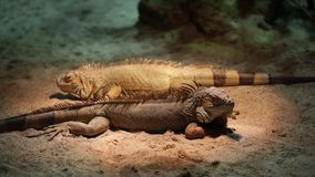 Pair of large iguanas stock video footage