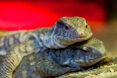 Two large iguanas lie Royalty Free Stock Image