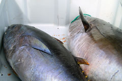 Two large just caught tuna Royalty Free Stock Photo