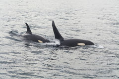 Two large killer whale Stock Images