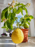 Two large lemons on a small potted tree Stock Image