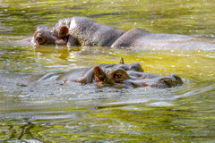 Two large mammal of a wild animal, hippopotamus in water Royalty Free Stock Photos