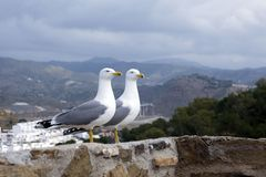 Two large Mediterranean gulls Larus michahellis stand on the stone wall of the old fortress against the backdrop of the mountain. S. Spanish city of Malaga stock photos
