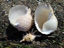 Two large and one small seashells on the shore. Royalty Free Stock Photography