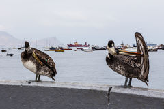 Two large pelican sitting Stock Photos