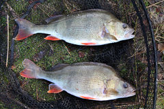 Two large Perch Stock Images