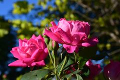 Two large pink rose blooms. Surrounded by greenery stock photo