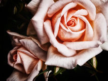 Two large pink roses. Pair of pink roses on a dark background Royalty Free Stock Image