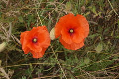 Two large poppies together. Two large poppies side by side growing wild Royalty Free Stock Image