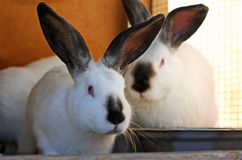 Two large rabbit. Royalty Free Stock Photography