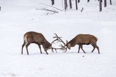 Two large red deer in a fight Stock Images