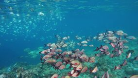 Two large shoals of fish in the sea. Over a coral reef stock video footage