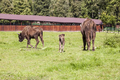 Two large and small bison, Bialowieza National Park Royalty Free Stock Photography