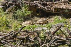 Two large specimens of land tortoises stock image