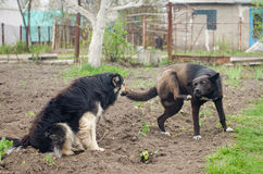 Two large stray dog with raised paw standing on the ground Stock Photo