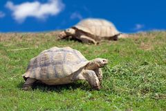Two large tortoises Stock Photography