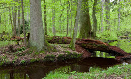 Two large tree by slow flowing river Royalty Free Stock Images