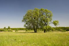 Two large trees, green meadow and forest stock photo