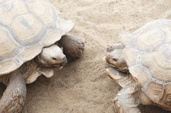 Two large turtles in the mating season stock images