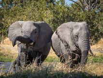 Two large wet African elephants drinking from river at Moremi NP, Botswana, Africa Stock Images