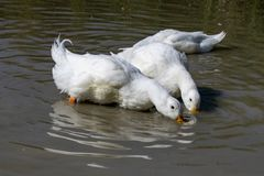 Two large white Aylesbury Pekin ducks with head below surface dabbling and searching for food stock image