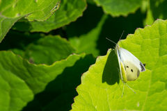 Two the large White butterfly on flower Royalty Free Stock Photo
