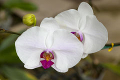 Two large white orchid flower. Beautiful blossoms close-up. Orchid flower on a branch in a garden of orchids. Thailand Royalty Free Stock Photo