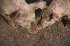 Two large white pigs in muddy field. Two Pigs kissing in muddy field Royalty Free Stock Photography