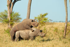 Two Large white rhinoceros mating Stock Photos